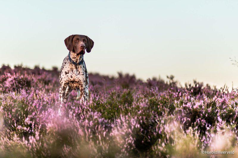 Hond op de heide - www.hondenhotelkortrijk.com