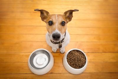 Jack Russel met eten en drinken - www.hondenhotelkortrijk.com